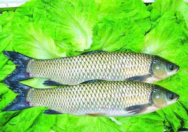 注意!常吃烧焦的鱼易患癌症