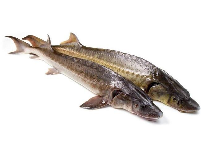 中华鲟鱼化石价格_鲟鱼的功效与作用_鲟鱼的营养价值_鲟鱼的做法_大厨艺
