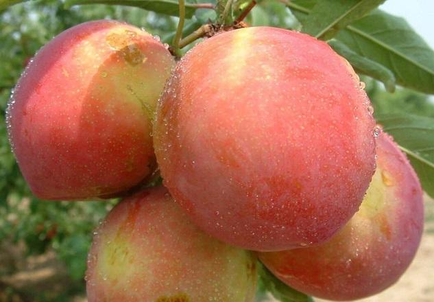 桃子的选购_桃子的存储_桃子的食用方法
