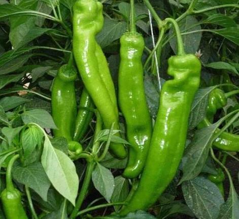 辣椒的功效与作用_辣椒的营养价值_辣椒的适用人群