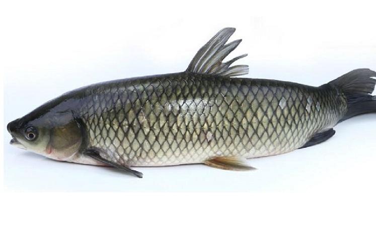 草鱼的食用方法
