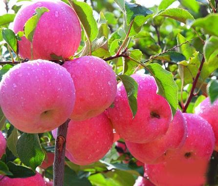 苹果食用功效_苹果食用方法