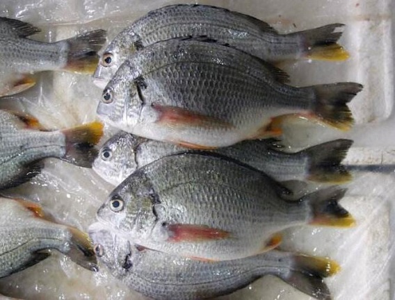 鲷鱼的选购技巧_鲷鱼的保存方法