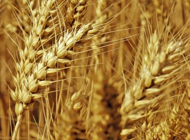 小麦的功效与作用_小麦的营养价值