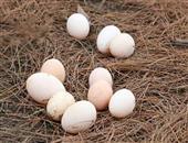 怎样识别土鸡蛋