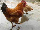 绿鸟鸡的营养价值