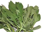 紫萼香茶菜