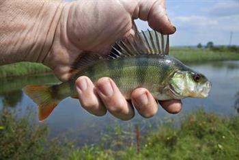 鱼内脏胆固醇高吗 胆固醇高能吃鱼吗